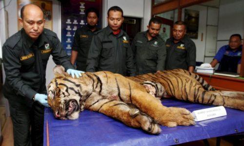 sindiket harimau
